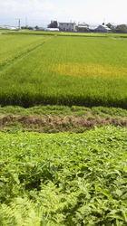1、アイガモの田んぼ.jpg