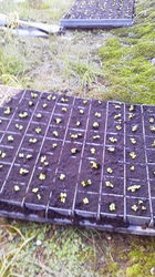 1白菜の芽が出たよ.jpg